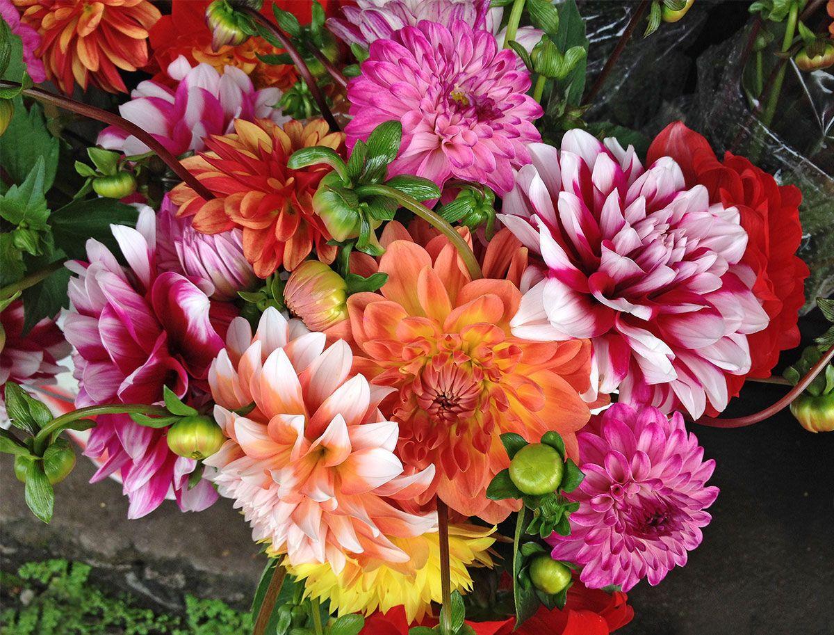 Dahlia Flowers Grown In Hawaii At The Hilo Farmers Market