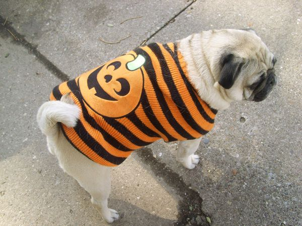 This Is Our Pug Kingston On Halloween 2011 He Wore His Sweater During The Festivities And Loved All The Attention Pug Love Pug Lover Animals Friends
