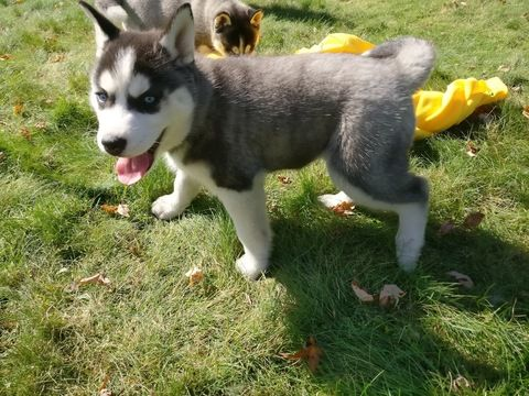 Siberian Husky Puppy For Sale In Wausau Wi Adn 47216 On