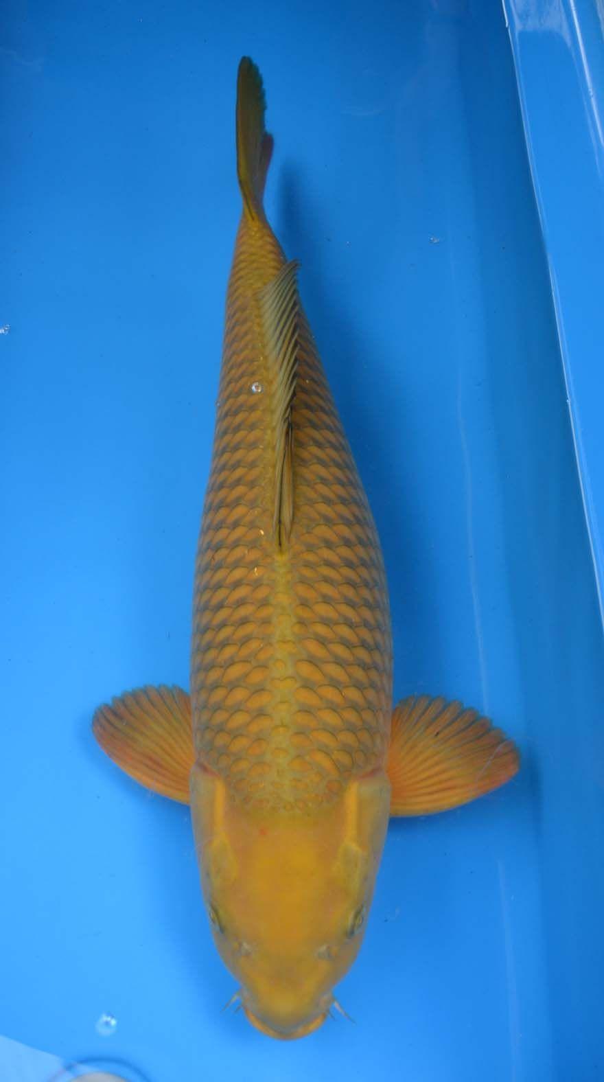 Chagoi Koi Koi Fish Colors Koi For Sale