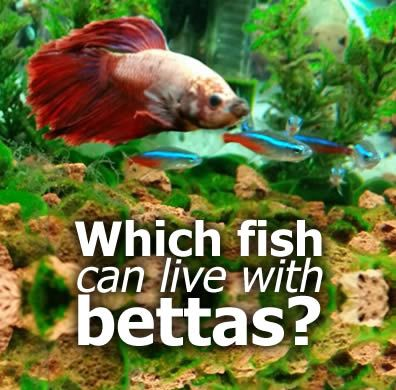 What Fish Can Live With Bettas Betta Fish Betta And
