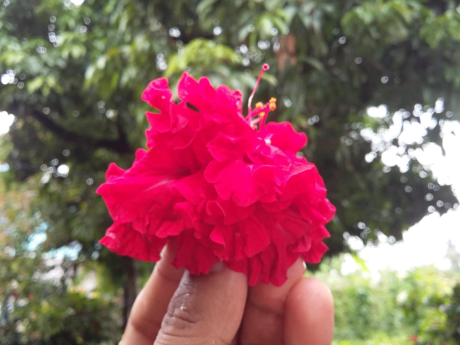 Hibiscus Is One Of The Widely Praised Flowering Plants Of The Genus