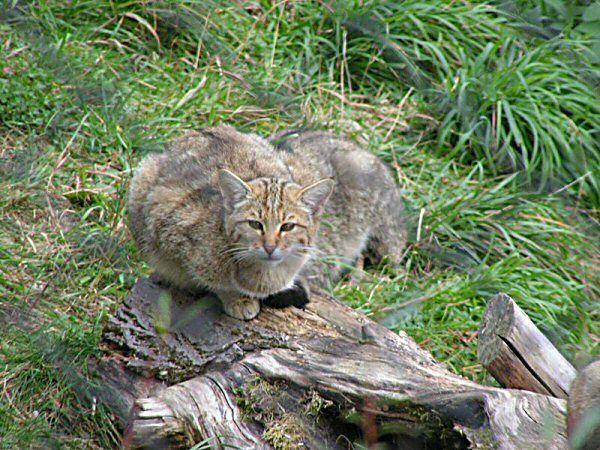 Researchers Work To Save The European Wild Cat Koshki Zhivotnye Foto Zhivotnyh