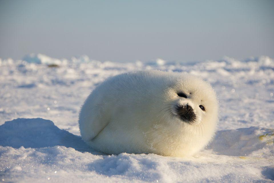 just baby harp seals | Cute seals, Baby harp seal, Cute ...