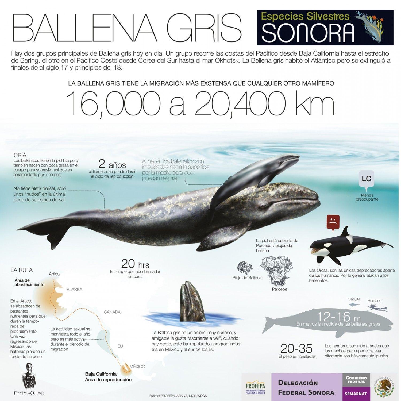 Fantástico Anatomía Ballena Macho Molde - Anatomía de Las ...