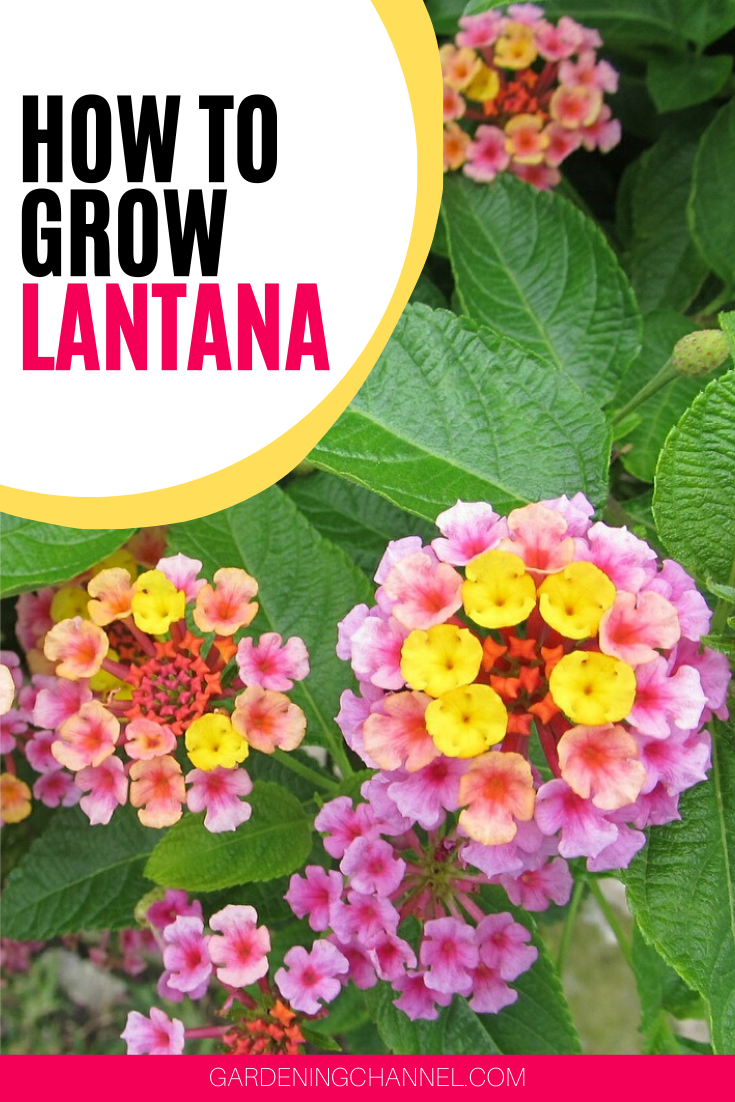 How To Grow Lantana Gardening Channel In 2020 Lantana Container Gardening Flowers Annual Plants