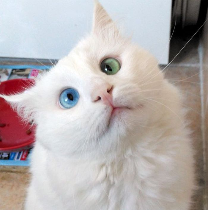 140c9d0928 Snow-White Cat Has The Most Hypnotizing Eyes Of Different Color ...