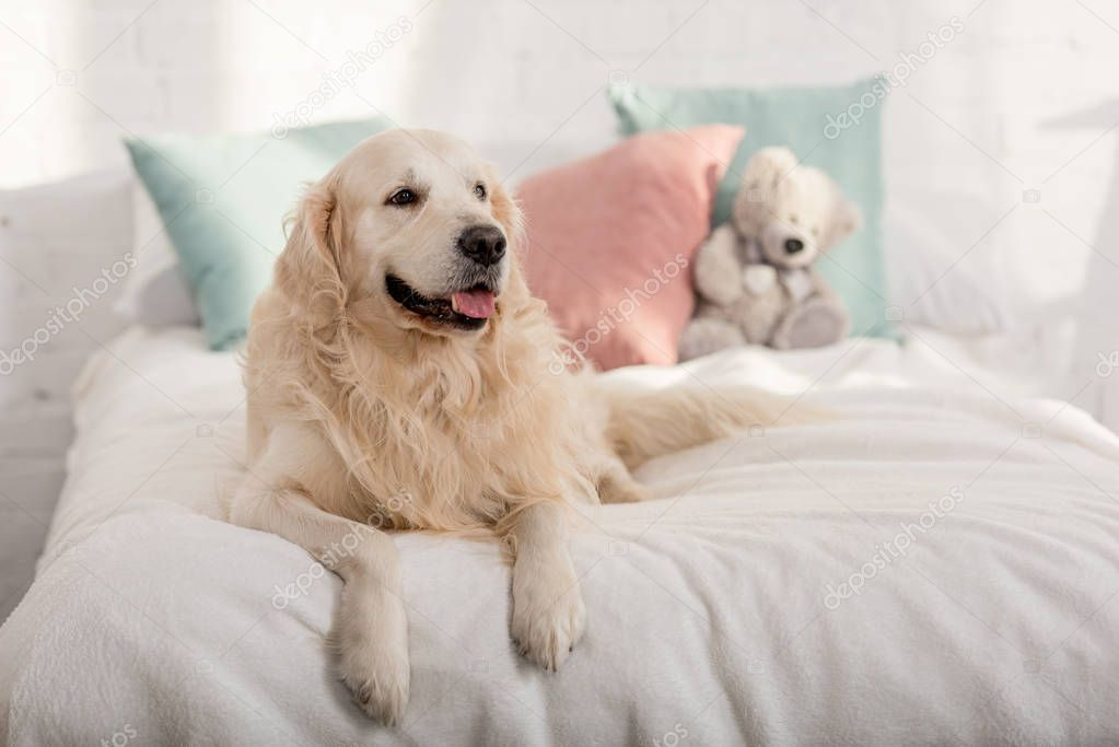 Cute Golden Retriever Dog Lying Bed Children Room Stock Picture