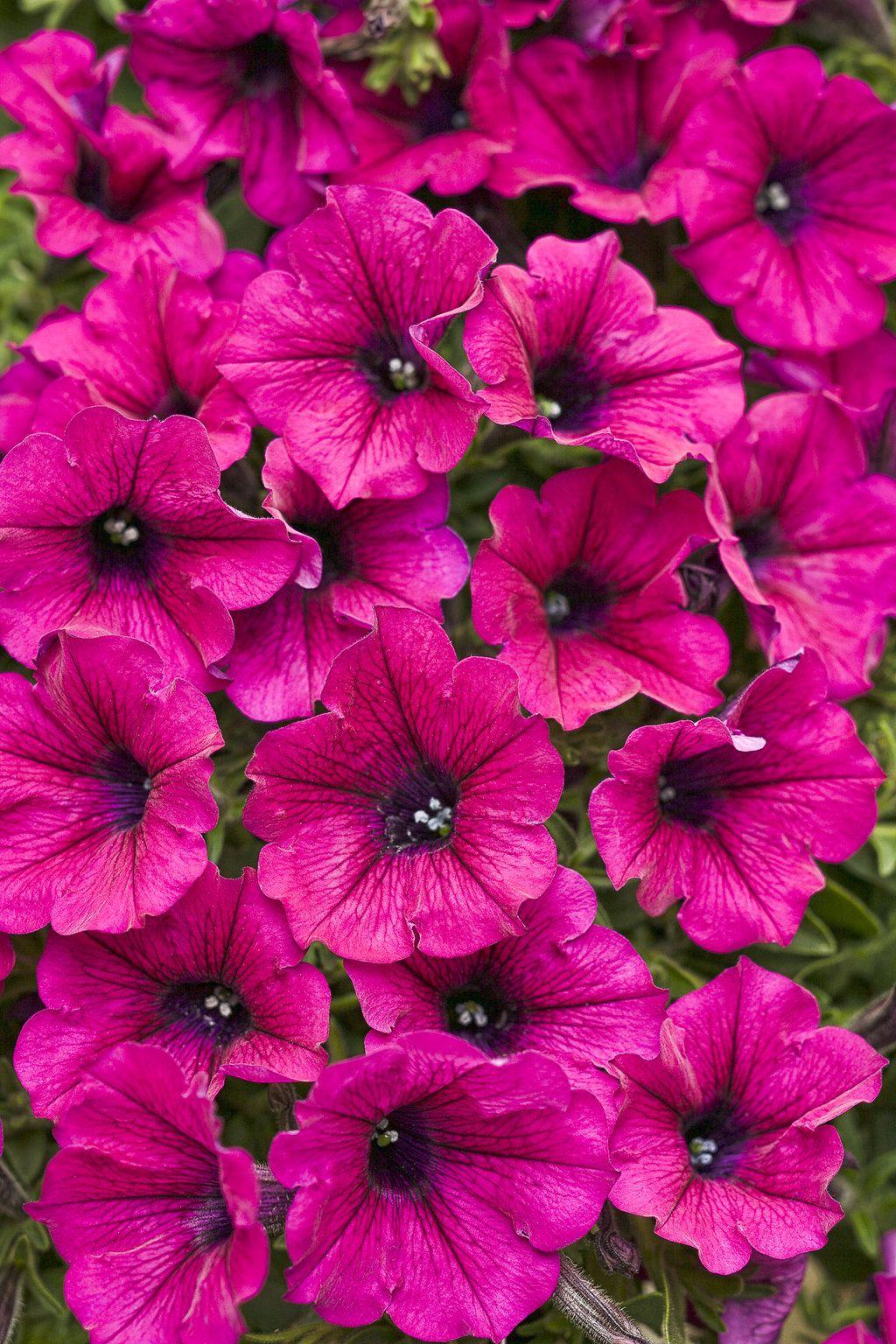 Supertunia Mini Purple Petunia Hybrid Purple Petunias Petunia Flower Petunia Plant