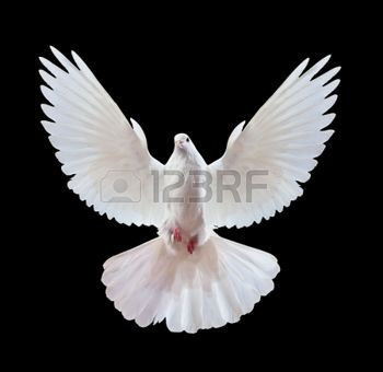 dove of peace: A free flying white dove isolated on a black background