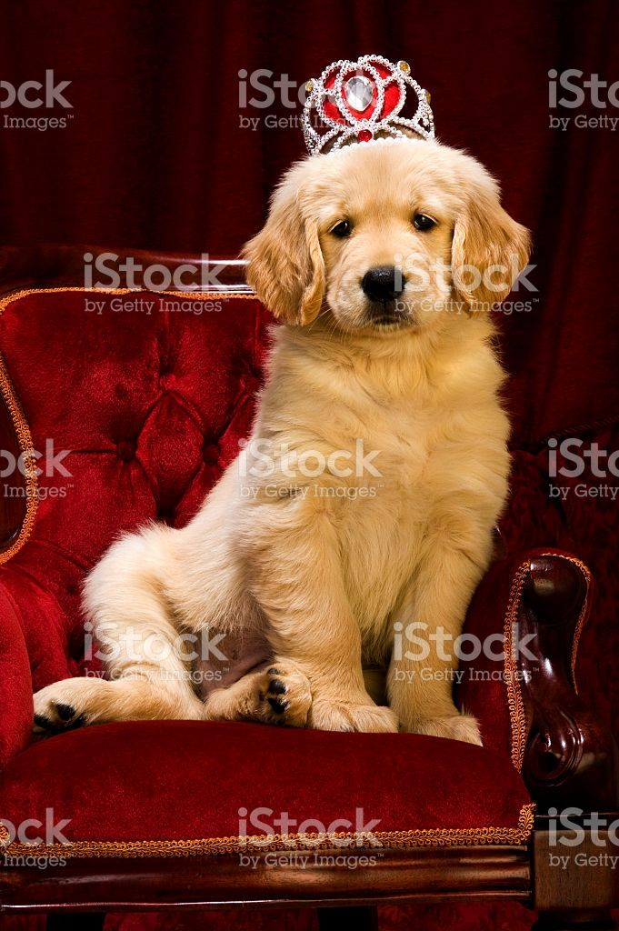 Golden Retriever Puppy Sitting On A Throne Stock Photo Download