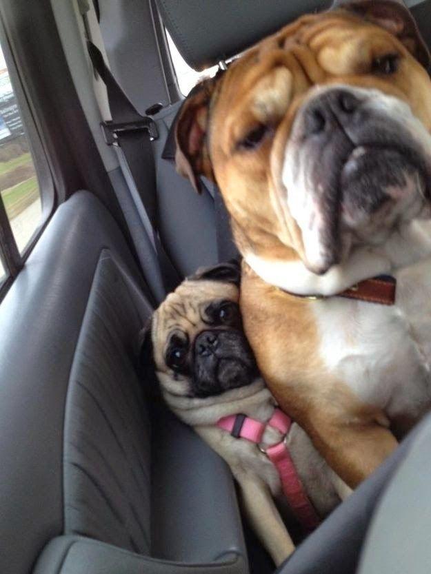 Funny Smushed Pug