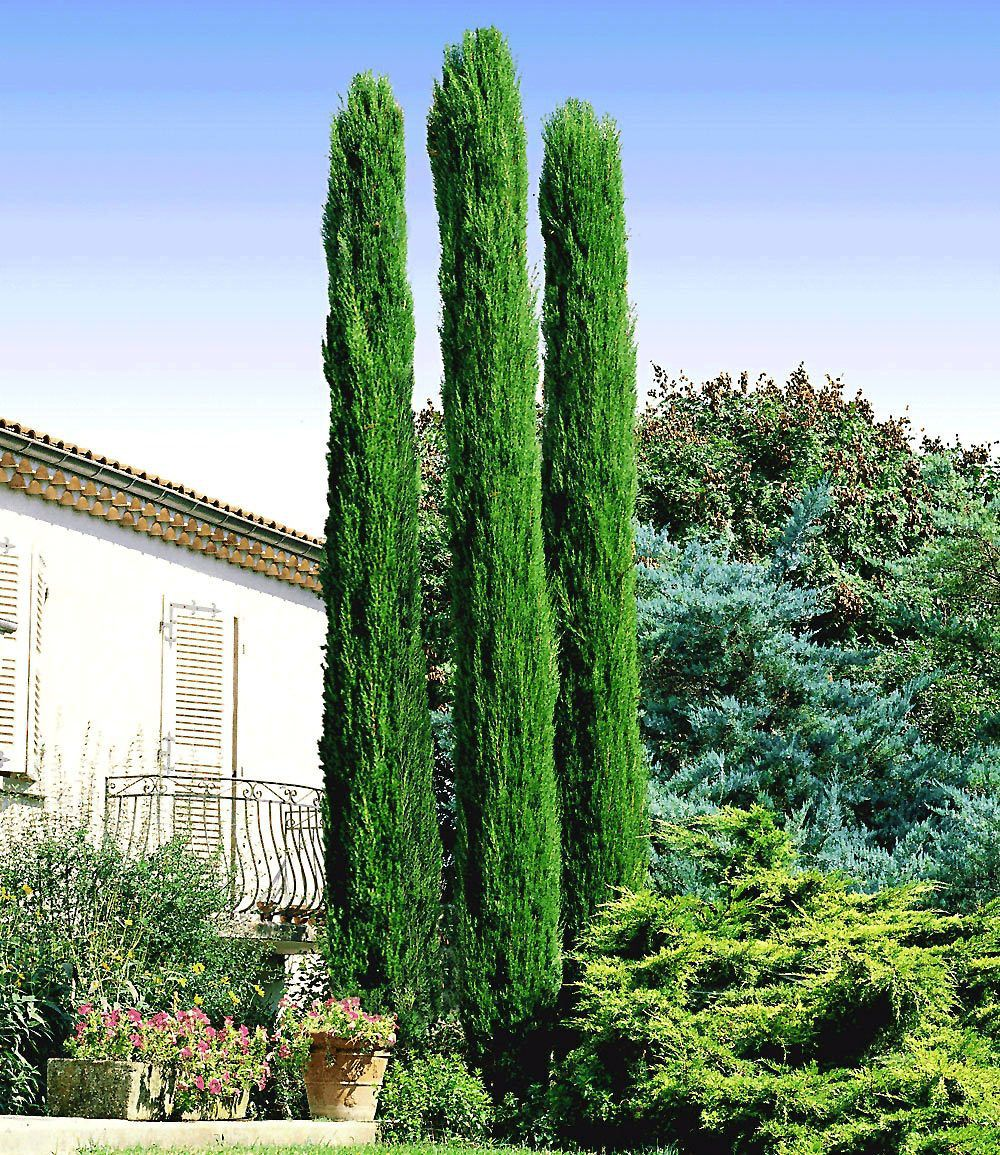 Echte Toskana Saulen Zypresse 1 Pflanze Zypressen Bepflanzung Toskana Zypresse