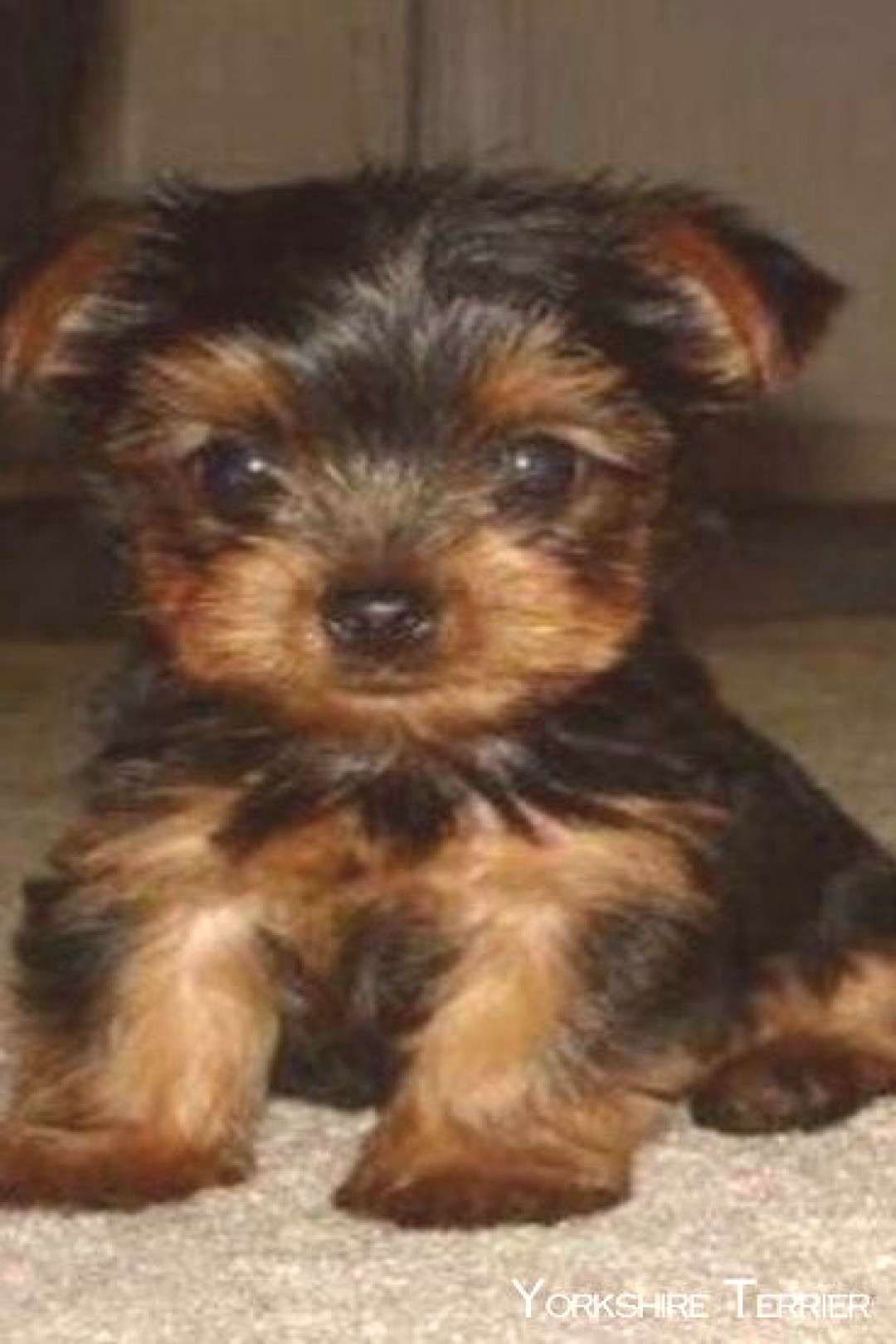 Yorkshireterriersnapy Yorkshireterrierswag Terriersm In 2020 Yorkshire Terrier Puppies Yorkshire Terrier Puppy Yorkie Yorkie Yorkshire Terrier