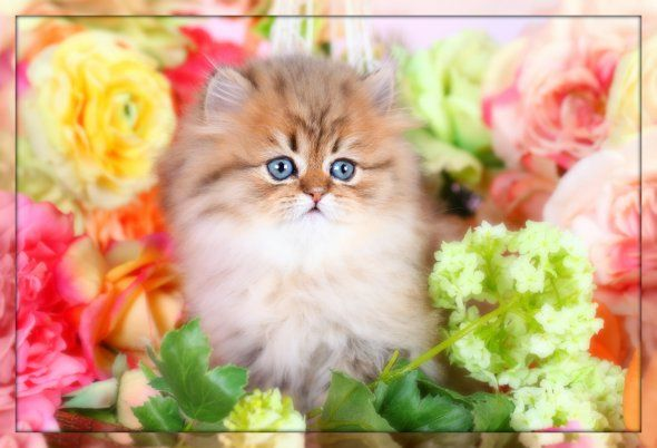 Teacup Persian Kittens | Teacup Cats | Miniature PersiansPetite Persian Kittens For Sale