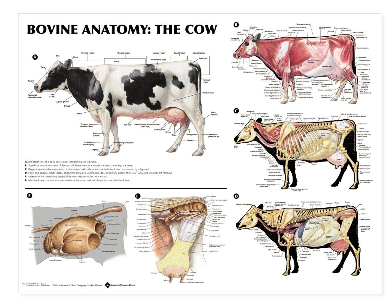 Cow Anatomy Bones Digestive System Cow