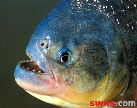 baby piranha   There has been a baby boom at Deep Sea World in North Queensferry ...