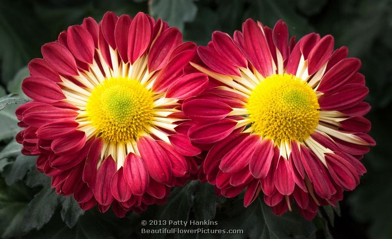 A Few Chrysanthemums To Brighten Your Day Beautiful Flowers Pictures Beautiful Flowers Garden Flower Pictures