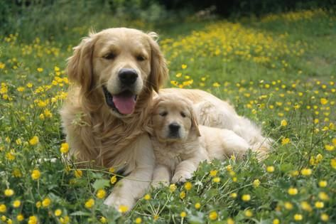 Golden Retriever Dog And Puppy Photographic Print Dogs Golden