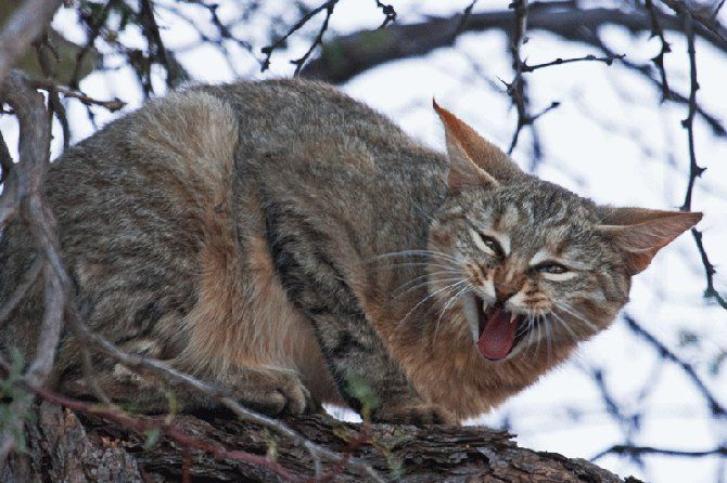 Can wild cats be domesticated