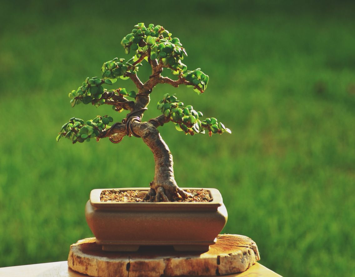 1000 Ideas About Jade Bonsai On Pinterest Bonsai Trees Bonsai