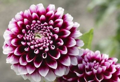 Dahlia Plant Types What Are The Different Varieties Of Dahlia Flower Seeds Dahlia Flower Flower Pots