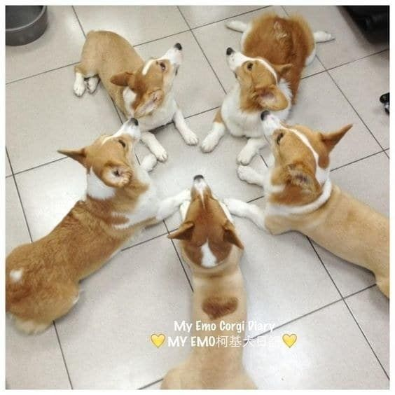 These Steps Will Teach You How To Be As Confident As A Corgi - 30 cutest pictures ever babies posing animals