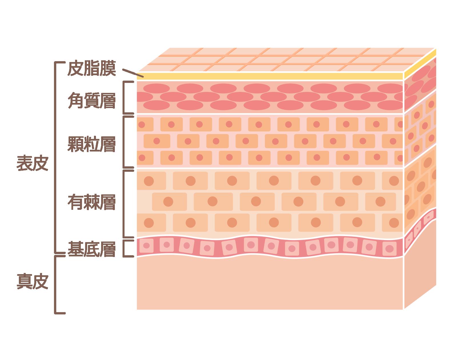 皮膚の構造とその役割と働き。美容のための肌の知識。 | 美容, 皮膚, 肌