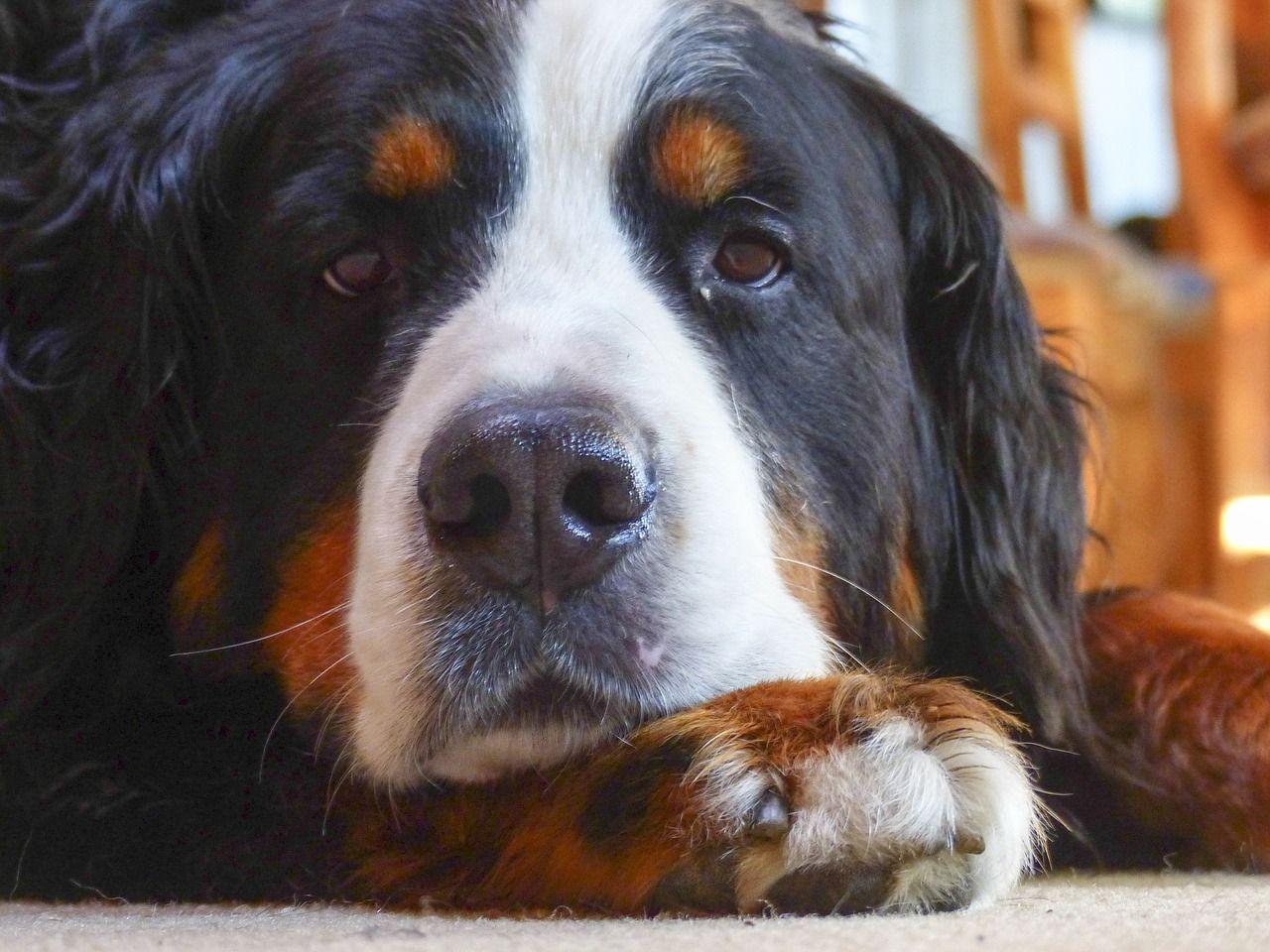 Kostenloses Bild Auf Pixabay Berner Sennenhund Hund Ruhend Berner Sennenhund Bernasennen Hund Und Sennenhund