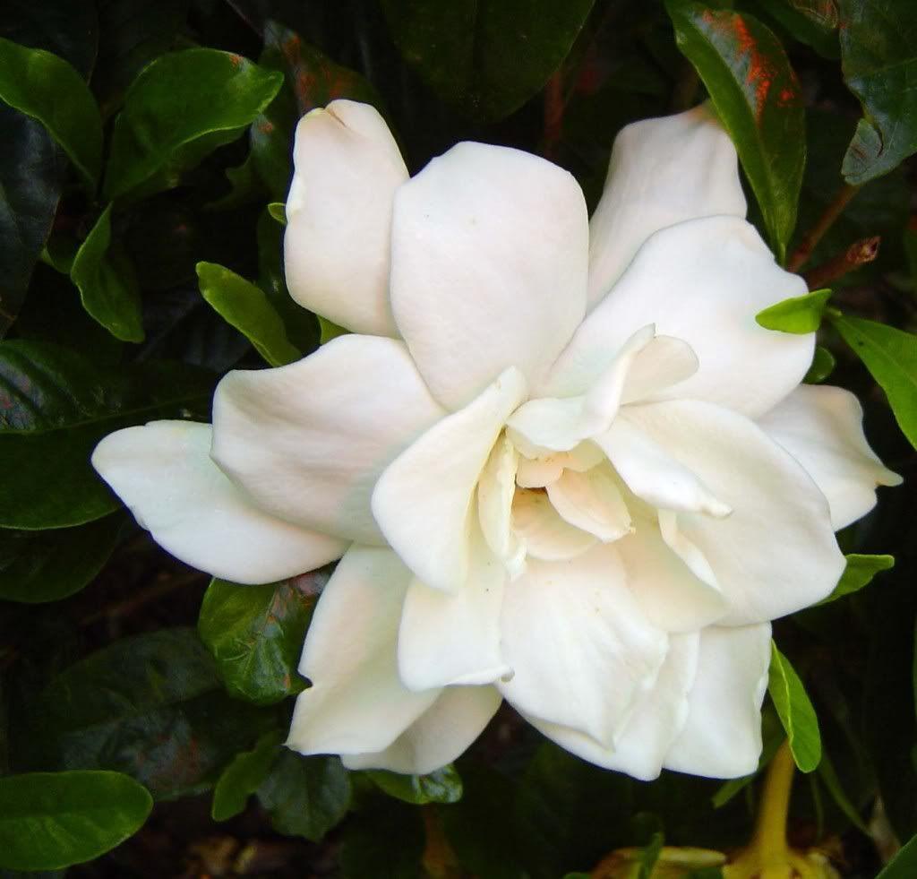Gardenia My Favorite Flower With Images August Beauty Gardenia Gardenia Plant Flowers