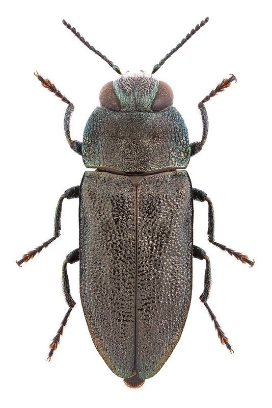 Anthaxia Morio Fabricius 1792 甲虫類