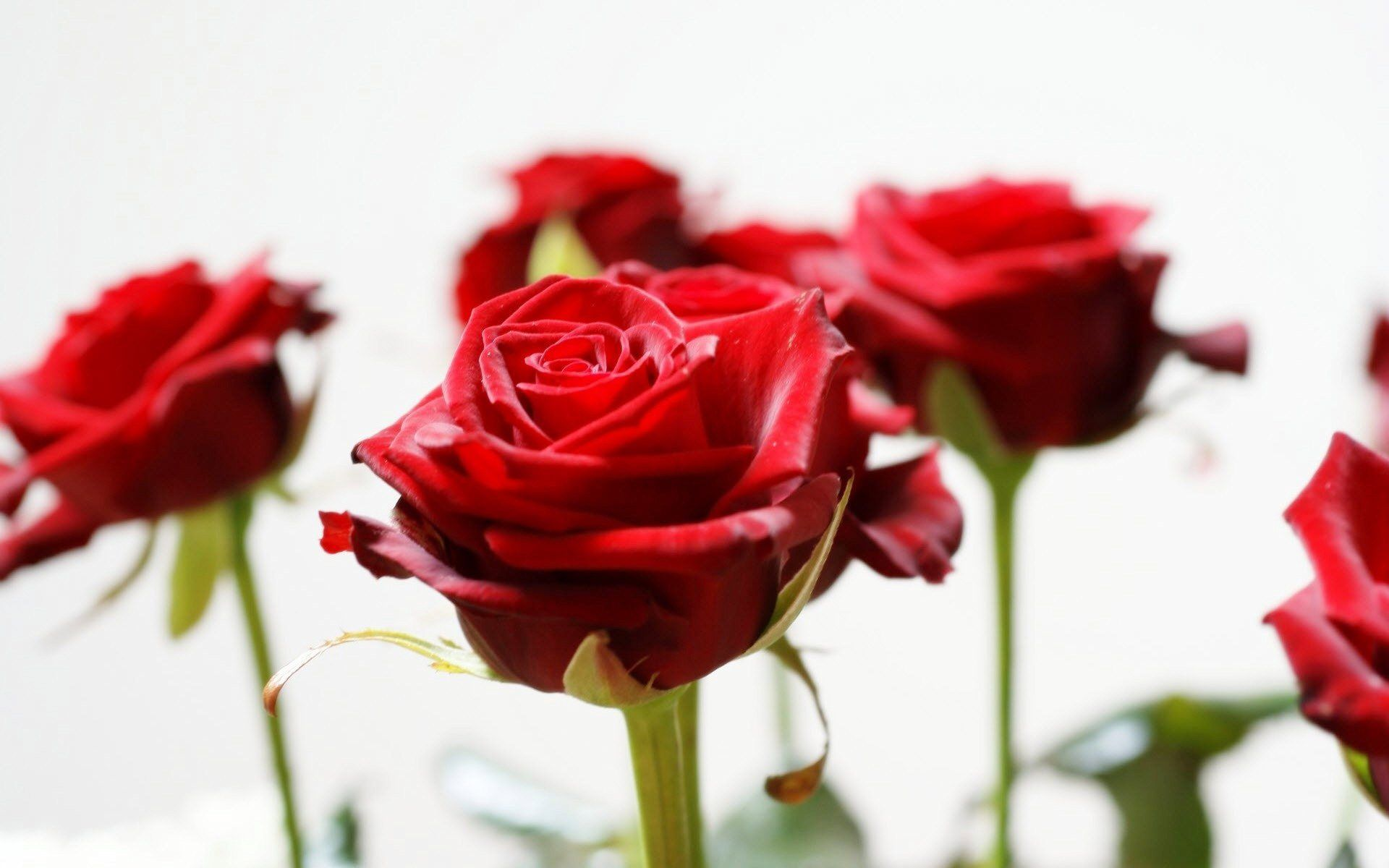 Http Www Tokobungadijakartapusat Com Hadiah Valentine Untuk Cowo Atau Laki Laki Bunga Mawar Merah Mawar