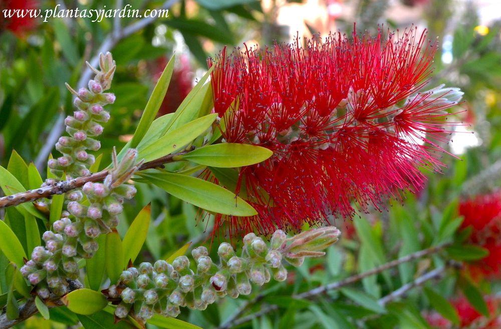 Callistemon citrinus limpiatubos de flor roja escobill n - Arbustos perennes con flor ...