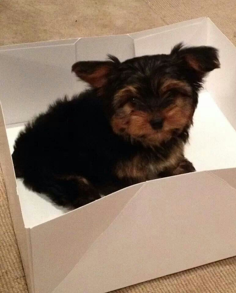 Yorkie in a box