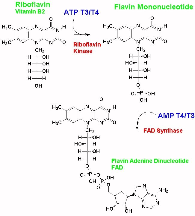 B12 Deficiency and hypothyroidism