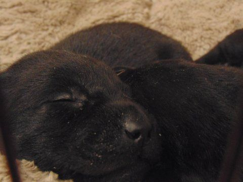 Litter of 7 Labrador Retriever puppies for sale in STRONG