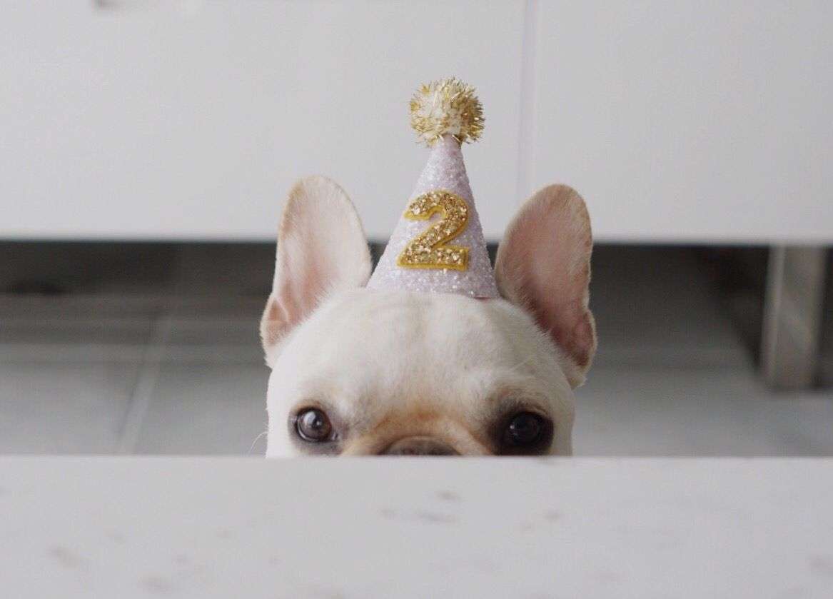 Happy Birthday Polly The French Bulldog Turns 2