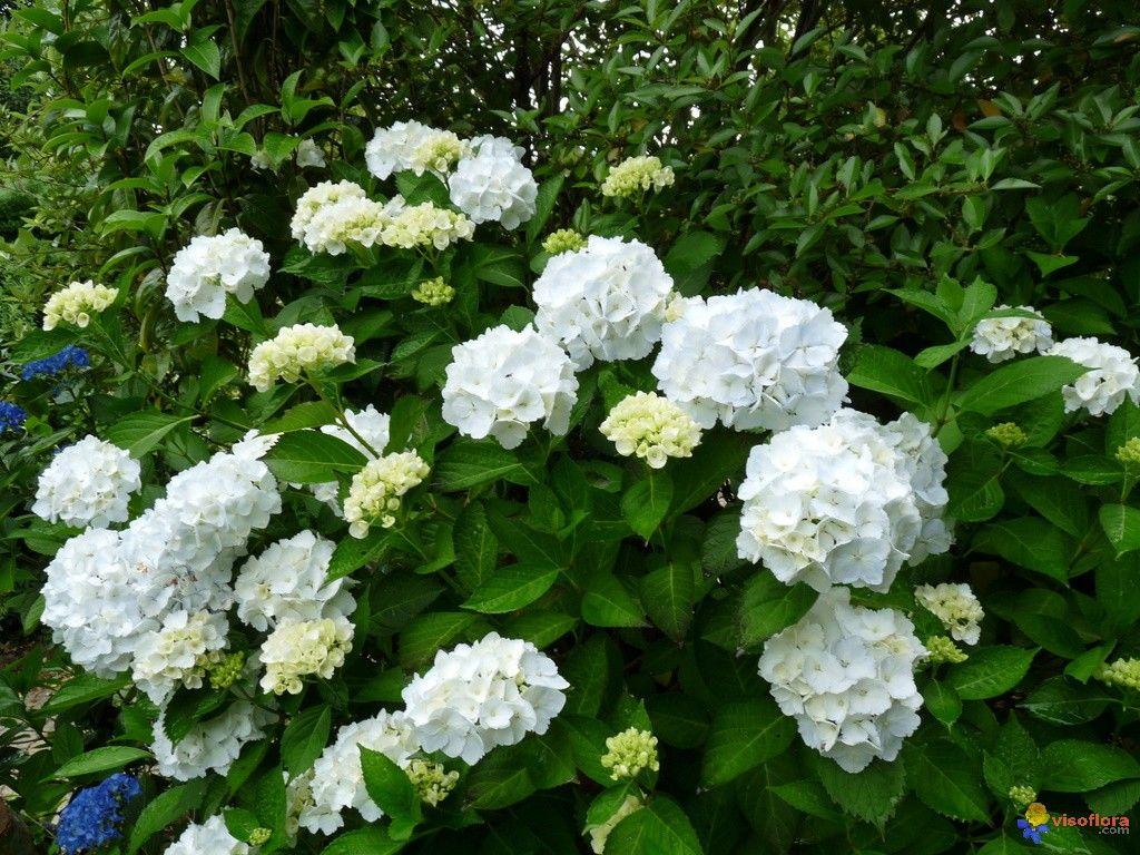 hydrangea macrophyla blanc | floraison blanches | pinterest