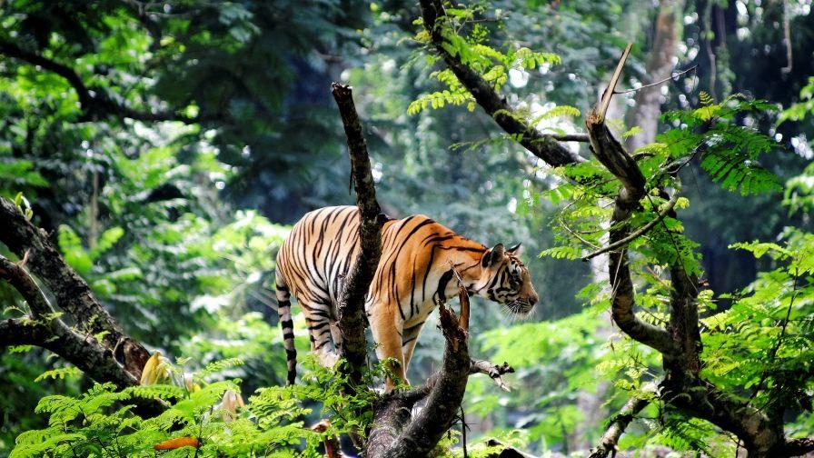 Tiger Jungle Android Hd Wallpapers Tiger Wallpaper Pet Tiger Bengal Tiger