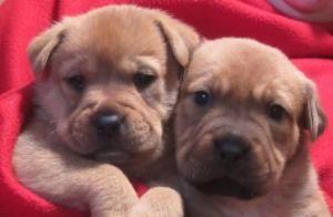 Adopt Portia On Labrador Retriever Retriever Dog Beautiful Puppy