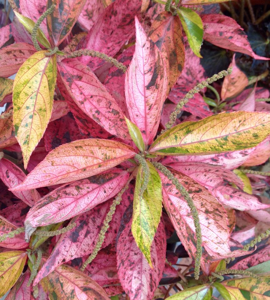 Coral Glow Copper Plant Acalypha Wilkesiana Coral Glow Gorgeous