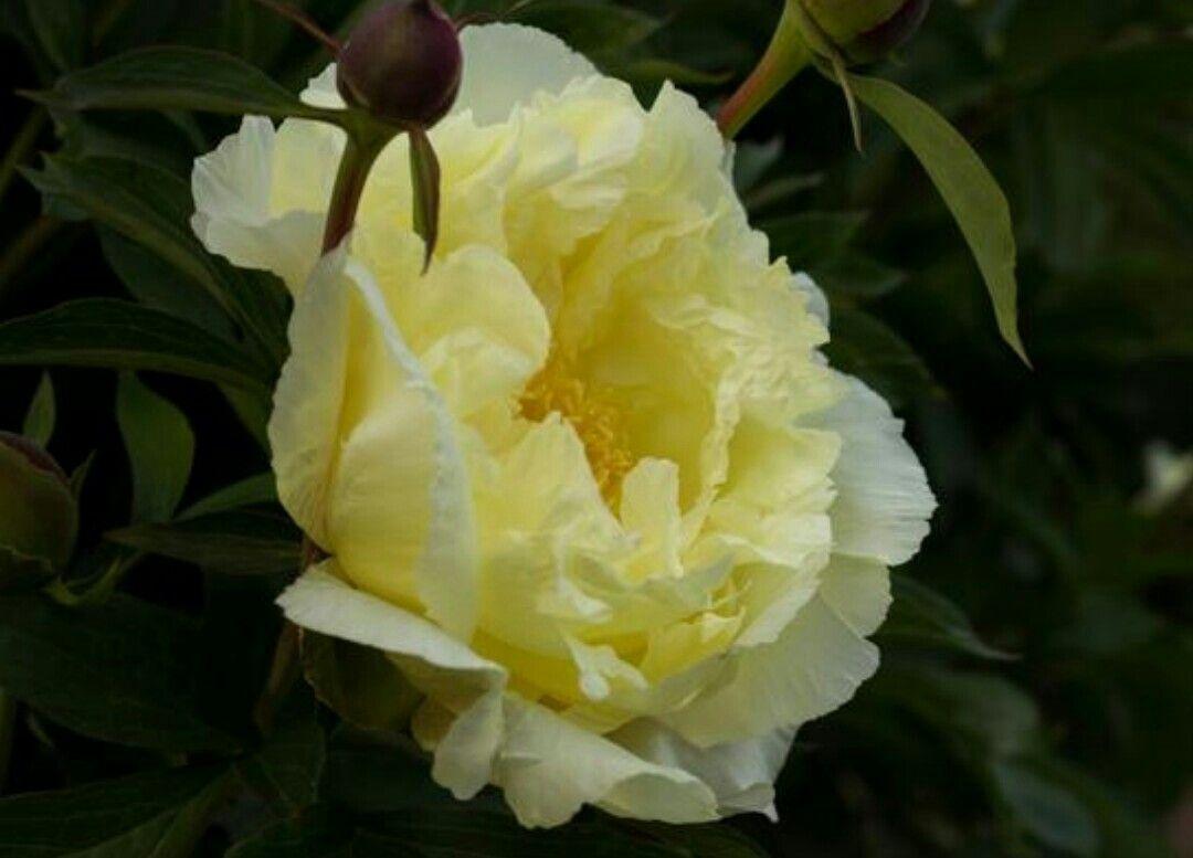 Peony Lemon Dream Planting Peonies Flowers Yellow Peonies