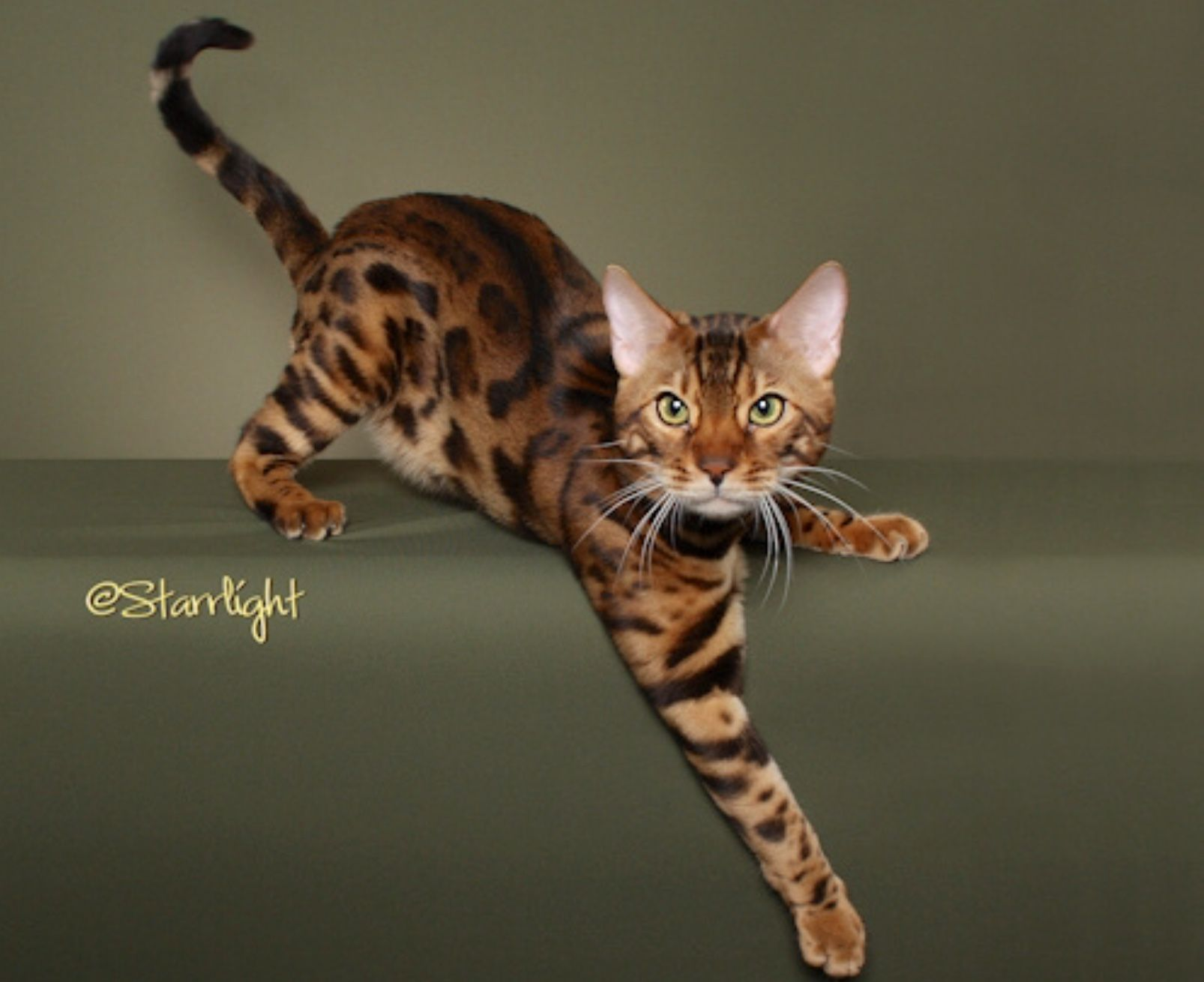 Bengal Cat Stud Brissinger Of Penasquitos My Nephew Owned A Bengal Wonderful Temperament Very Destructive Bengal Kitten Bengal Cat Bengal Kittens For Sale