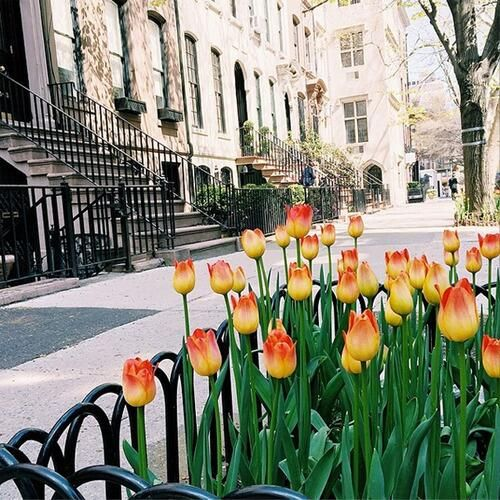 tulips and brownstones by vineyardandlilly http://ift.tt/1sfJMU7  #nycfeelings pic.twitter.com/ANzxsPgnTK