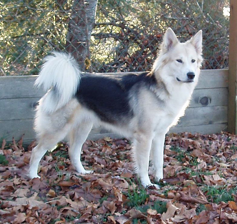 German Shepherd Husky Mix German Shepherd Husky Mixgallery For