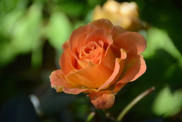 Goldelse  ruusu  uutta kukkaa