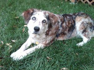 Adopt Luna On Australian Shepherd Dogs Animals Australian Shepherd