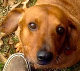 Adopt Clyde On Dachshund Breed Adoptable Dachshund Dog Dachshund