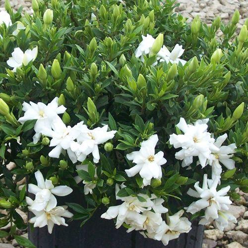 Gardenia Radicans Variegata: Garden Landscaping, Garden