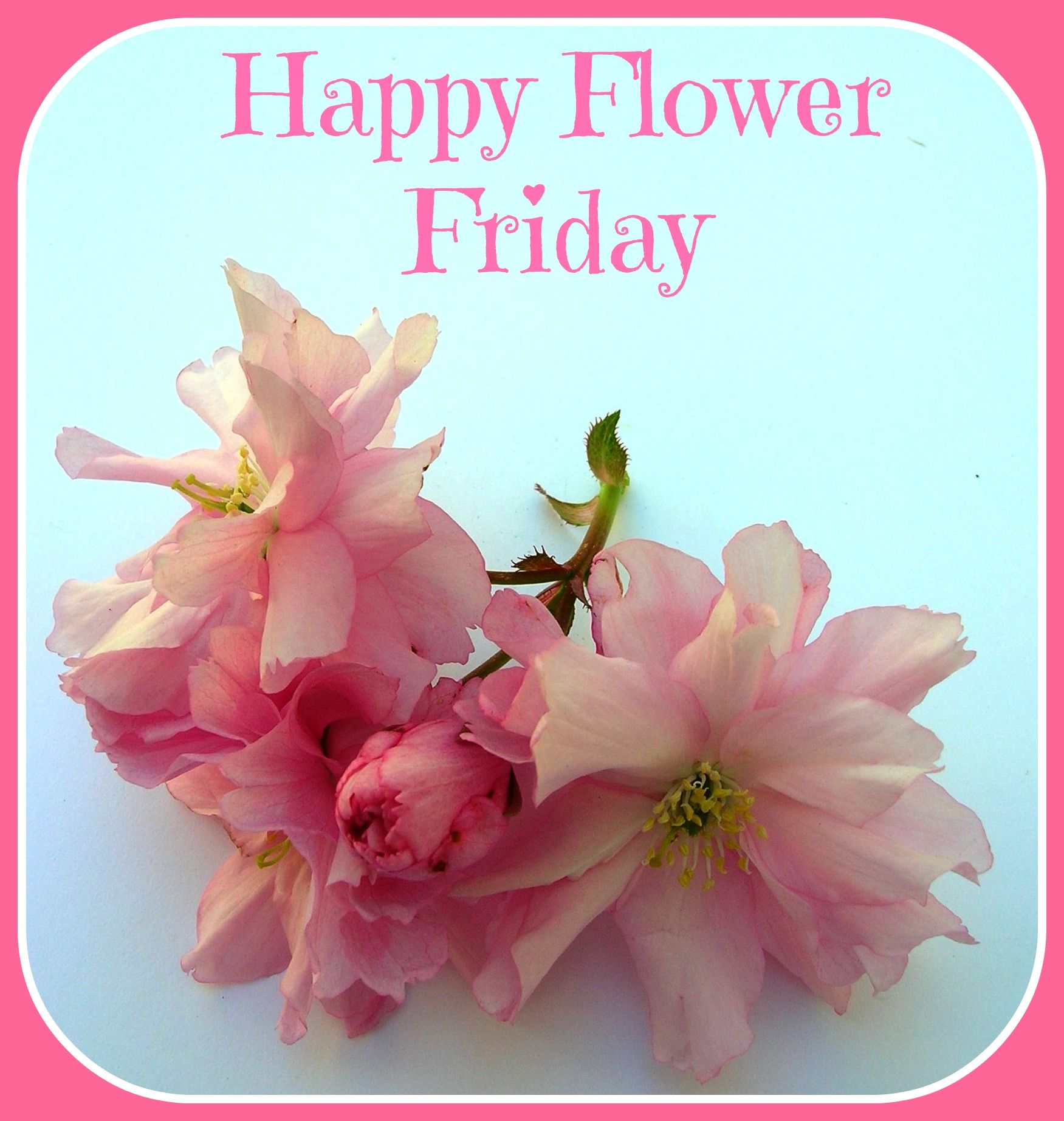 Happy Flower Friday flowers flowerfriday pink blue